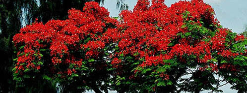 arbreflamboyants